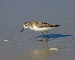 Semipalmated Sandpiper | by no ceiling