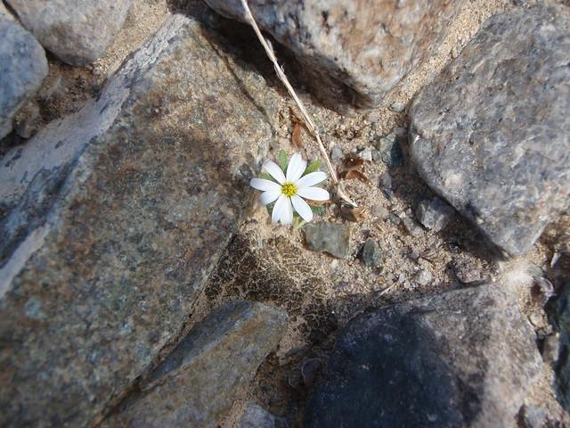 Monoptilon belloides (Mojave Desert Star)