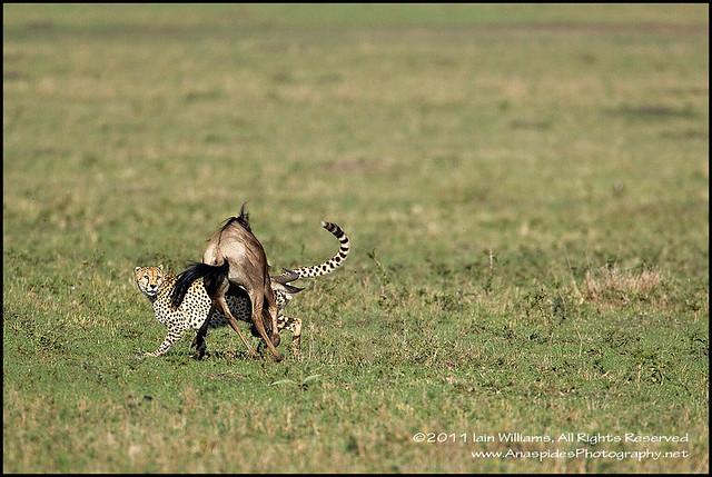 Cheetah (Acinonyx jubatus) - Kenya