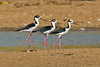 Black-necked Stilt (Himantopus mexicanus mexicanus) by Rodrigo Conte