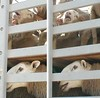 כבשים אוסטרליות מיובשות במשאית לוהטת