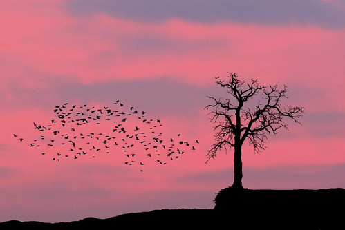 winter birds composite texas dusk flight silhouettes grapevine lonetree pinkandblue katieswoods