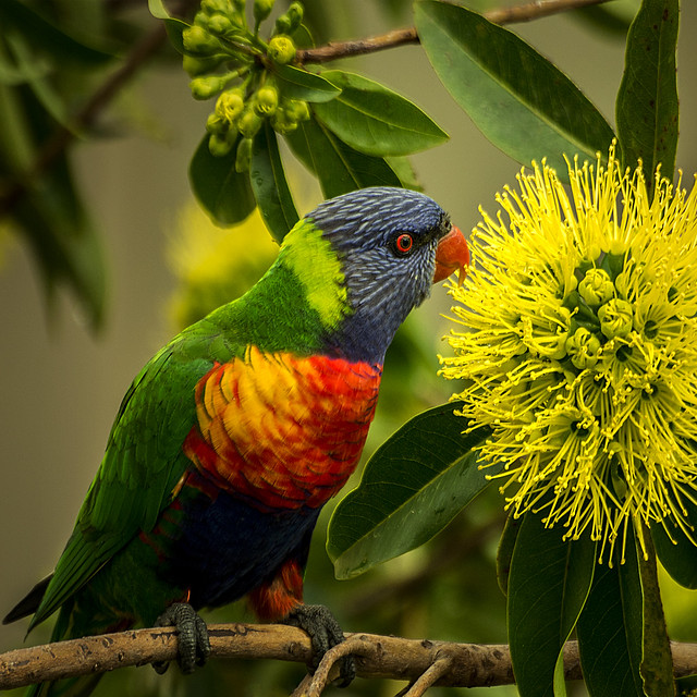 the nectar hunters - bluey in the golden penda