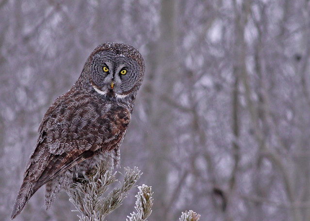 Great Gray Owl...#32 (the look)
