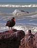Wild sea after the storm - Variable oystercatcher, Haematopus unicolor by Maureen Pierre