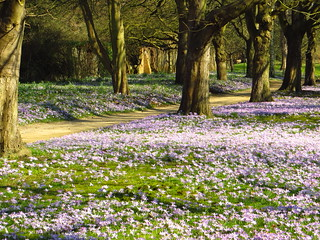 Crocuses at Cannizaro Park | by Laura Nolte