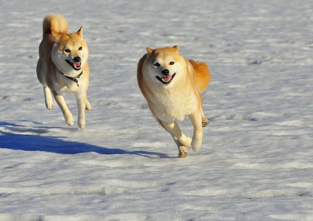 Running Shiba's