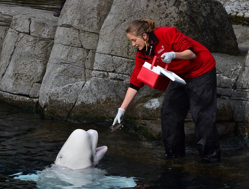 beluga whale   by Sherwood411
