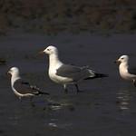 银鸥 Herring Gull (Larus argentatus)