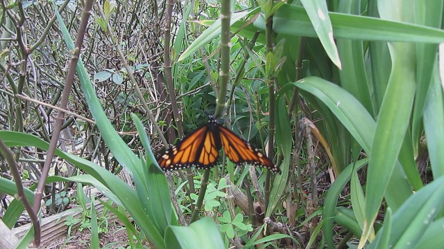 MVI_6452 monarch butterfly unfocused crawling on milkweed stem