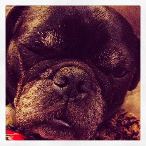 Sleepy #pug #blackpug | by bmwbzz