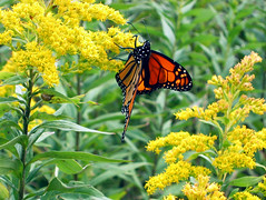 Monarch Butterfly, Falmouth, Maine