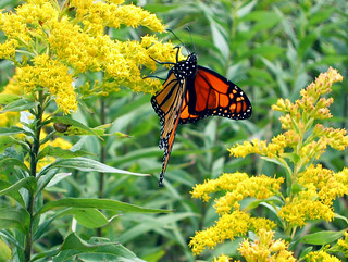 Monarch Butterfly, Falmouth, Maine | by LibertyforCaptives