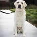 Active Labrador Retriever Studs