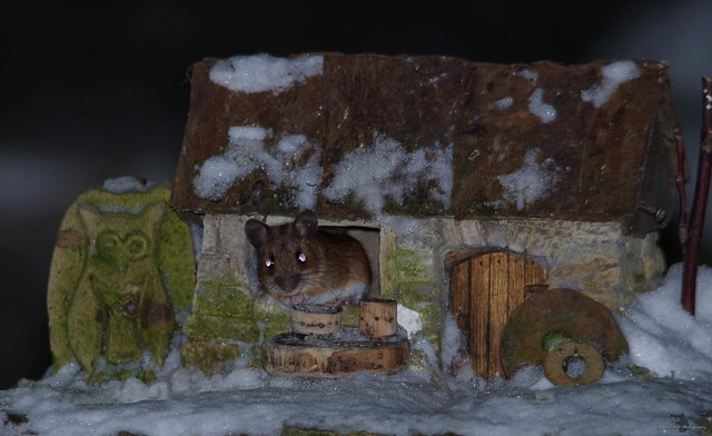 wild Wood mouse in a little garden house (1)