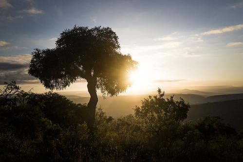 cussoniaspicata cabbagetree kuduprivatenaturereserve kuduranch kudugameranch lydenburg mpumalanga southafrica