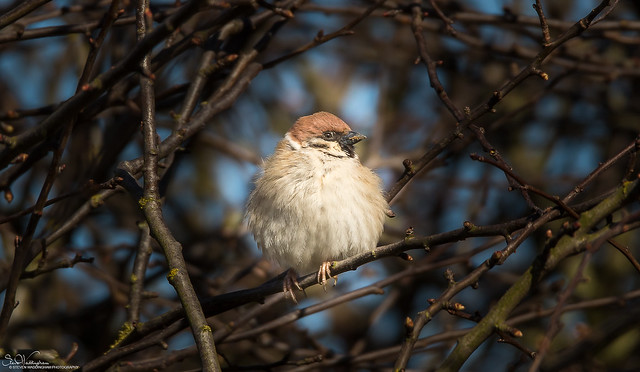 Tree Sparrow ...Male