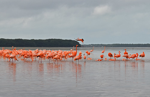Mexico - Yucatan - Celestun - flamingos | by Harshil.Shah