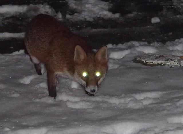 Urban wild red fox in the snow  (9)