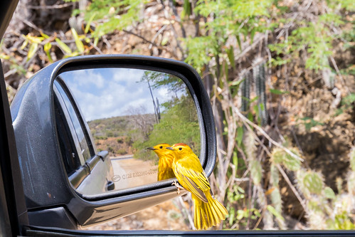 birds bonaire warbler truck car catus yellow gotomeer