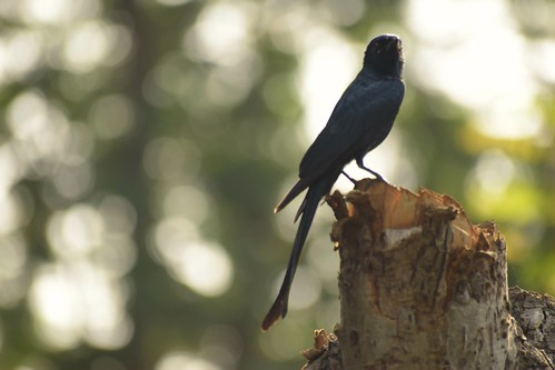 sunset drongo bokeh sillhoutte nature