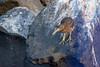 DSC_8959 Striated heron by dllarson2009