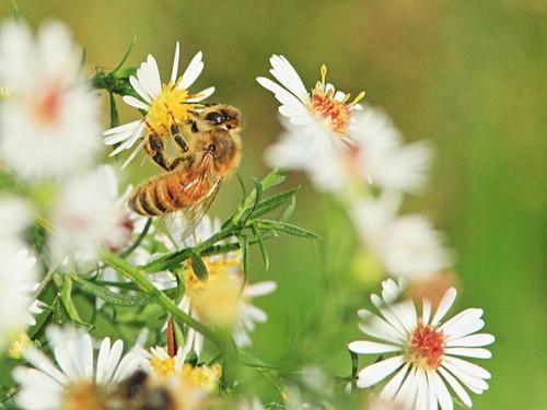 Honeybee on Heath Aster 20160925