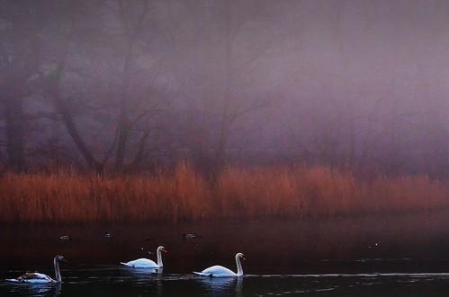 winter color sunrise swans waterscape cannop nikond7000 ericgoncalves rememberthatmomentlevel4 rememberthatmomentlevel1 rememberthatmomentlevel2 rememberthatmomentlevel3