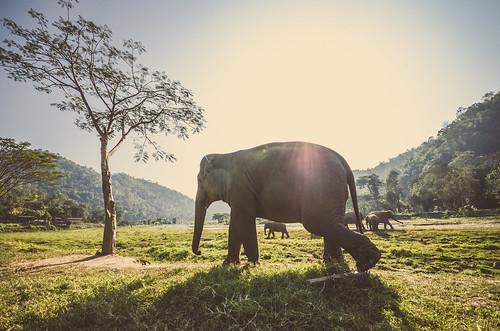 animal asia eddy elefante milfort chiangmaithailand
