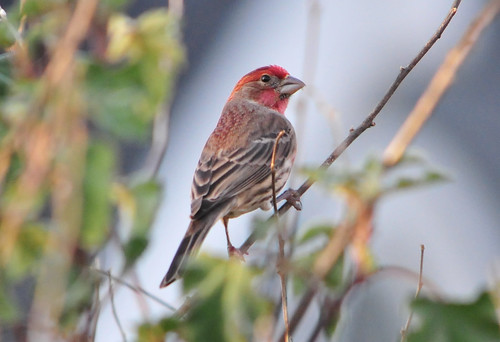 House Finch (Haemorhous mexicanus) | by R-Gasman