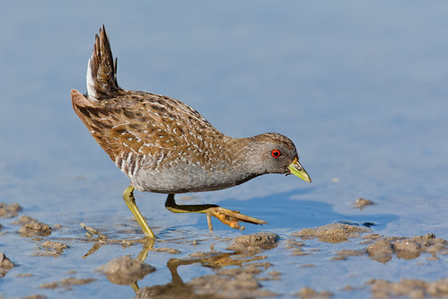 Spotted Crake | by Peter Jacobs Photos