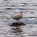 Flickr photo 'Glaucous Gull. Larus hyperboreus.' by: gailhampshire.