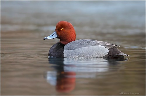 "Red Head ""Drake"" 