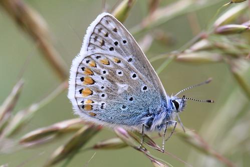blue ireland summer male nature grass butterfly wicklow commonblue twop commonbluebutterfly supershot rathdrum natureplus mywinners natureselegantshots artofimages