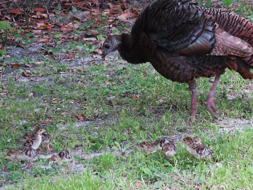 Wild Turkey family   by magnificentfrigatebird