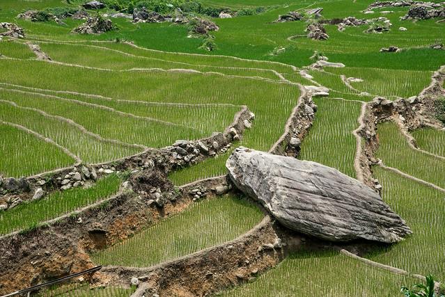 Rice field rocks!
