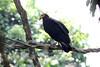 Greater Yellow-headed Vulture 121114 Cathartes melambrotus by Langham Birder