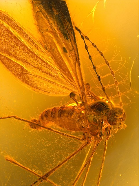 Baltic amber (40-50 MYO) - whit an iconic and absolut perfect Biting midge (Ceratopogonidae)