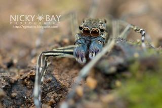 Jumping Spider (Spartaeus sp.) - DSC_7521
