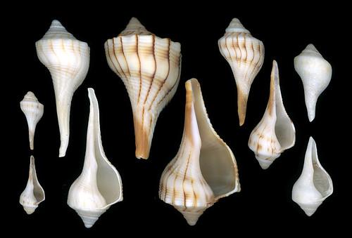 shells stpetersburg florida shell scanned fl animalia mollusca gastropoda mollusk mollusks onblack lefthanded pinellascounty eukaryota passagrillebeach epsonperfection3170 sinistral lophotrochozoa orthogastropoda lightningwhelk neogastropoda buccinidae busycon busyconsinistrum opisthokonta buccinoidea busyconcontrarium neomura holozoa filozoa taxonomy:binomial=busyconcontrarium busyconinae busyconini taxonomy:binomial=busyconsinistrum abaperturalview aperturalview
