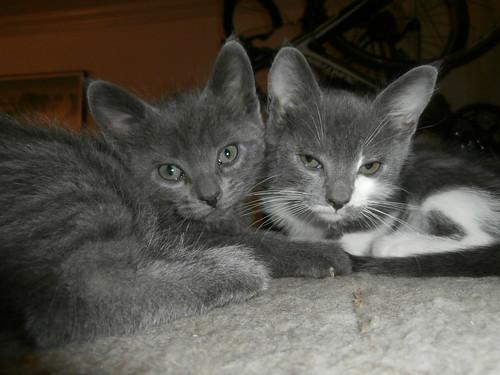 Gray Kittens | by www.metaphoricalplatypus.com