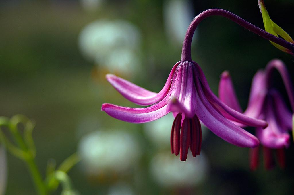 Dragon Lily - _TNY4345