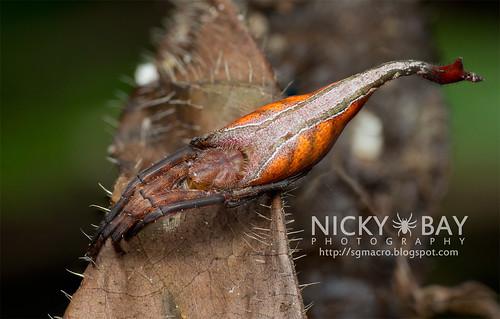 Scorpion-Tailed Spider (Arachnura logio) - DSC_5156 | by nickybay