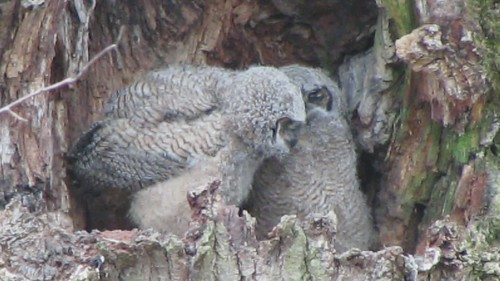 Great Horned Owls, Nisqually NWR, WA 2/14/13