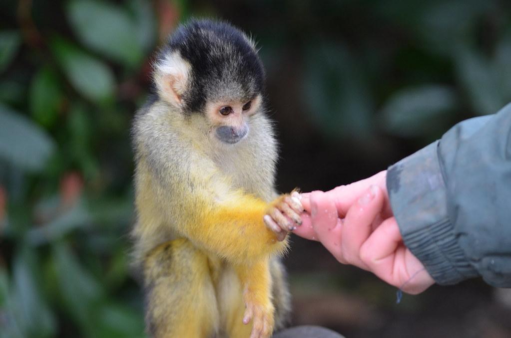 Keeper feeding a Monkey at London Zoo