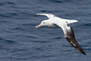 Wandering Albatross by rhysmarsh