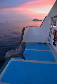 Sea Lion climbs aboard at dawn