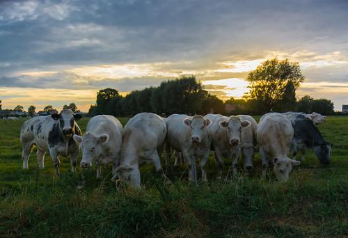 cow cows field countryside belgium belgique jose constantino josé animal outdoor landscape grassland green vache vaches sunset model models photoshoot hot joséconstantino nikon