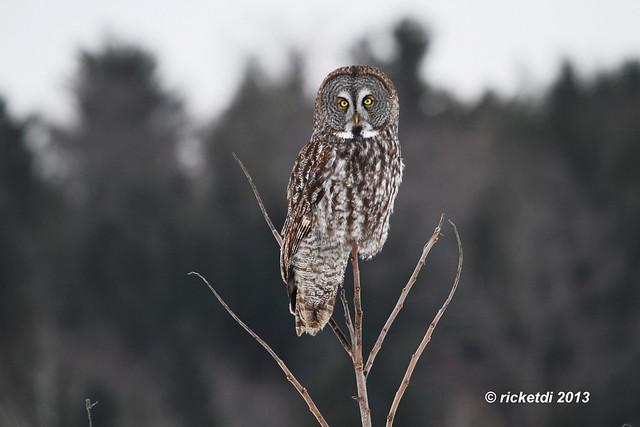 chouette lapone- great gray owl- strix nebulosa***