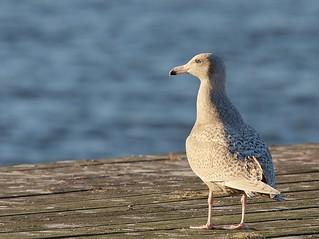 Vittrut / Glaucous Gull | by Stefan Berndtsson